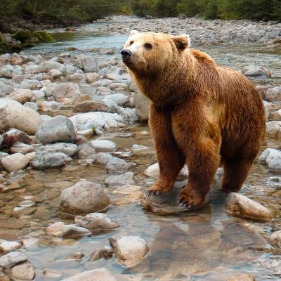 Bacha na ně. Ve Vysokých Tatrách se nebezpečně přemnožili medvědi
